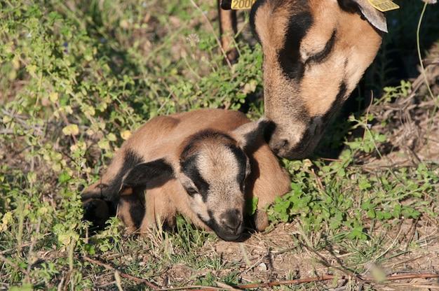 Farm-rennen gezüchtet schwarz kamerun-schafe haare