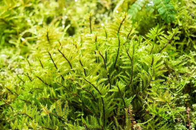 Farne und moos im regenwald. nahaufnahme selektiver fokus.