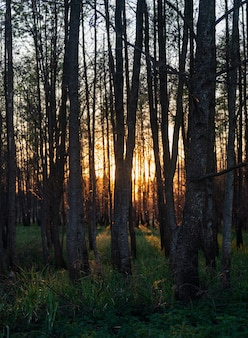Faszinierende ansicht der hohen bäume und des grases im wald während des sonnenuntergangs