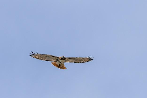 Faszinierende ansicht des falkenvogels, der im blauen himmel fliegt