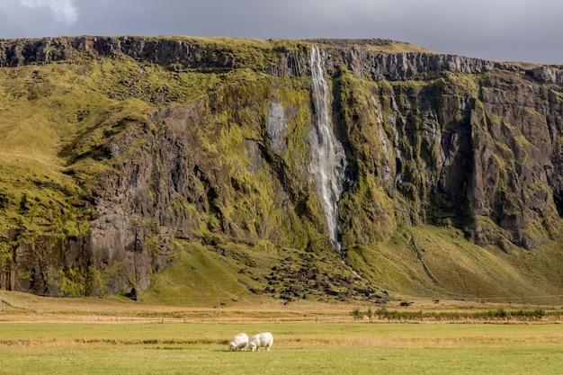 Faszinierende ansicht des wasserfalls mit schafen, die im vordergrund in island weiden lassen