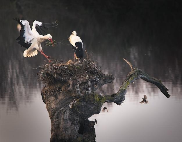 Faszinierende aufnahme von zwei störchen, die ihr nest bauen