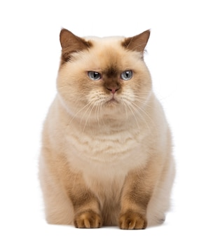 Fat british shorthair (2,5 jahre alt) sitzt und schaut mit argwohn