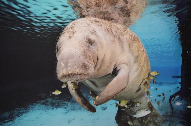 Faule seekuh, die unter wasser mit fischen schwimmt.