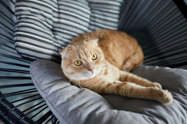 Faule tabby-ingwer-katze, die sich auf einem kissen auf einem weichen sessel entspannt und im hellen, modernen wohnzimmer in die kamera schaut