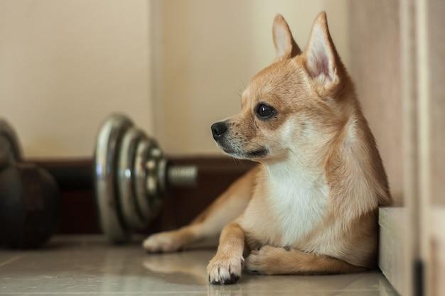 Fauler blick um hundeniedliches haustier entspannen sich nach spiel im haus, braune farbe des kleinen hundes des porträts