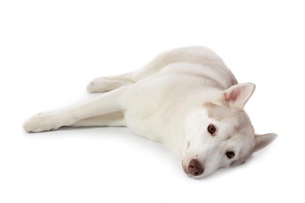 Fauler siberian husky, der auf dem boden liegt