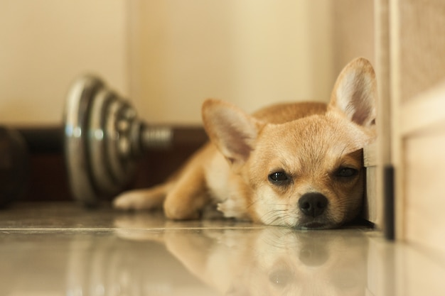 Faules hundeniedliches haustier entspannen sich nach spiel im haus, braune farbe des kleinen hundes des porträts