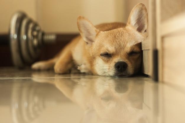 Faules schlafendes hundeniedliches haustier entspannen sich nach spiel im haus, braune farbe des porträts kleiner hund