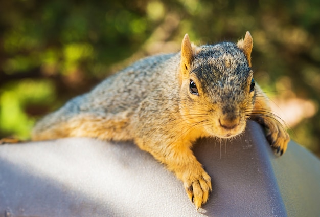 Fauliges eichhörnchen