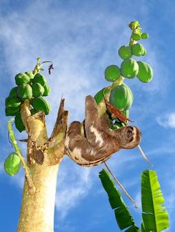 Faultier am amazonas, peru, südamerika