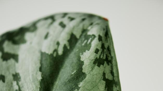 Faux wassermelone peperomia hintergrund zimmerpflanze