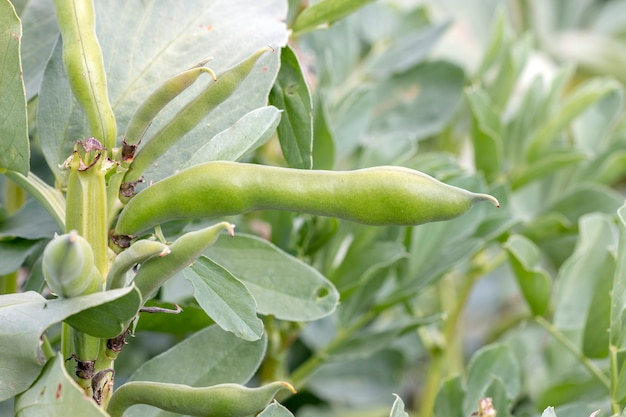Fava-bohnen-pflanze.