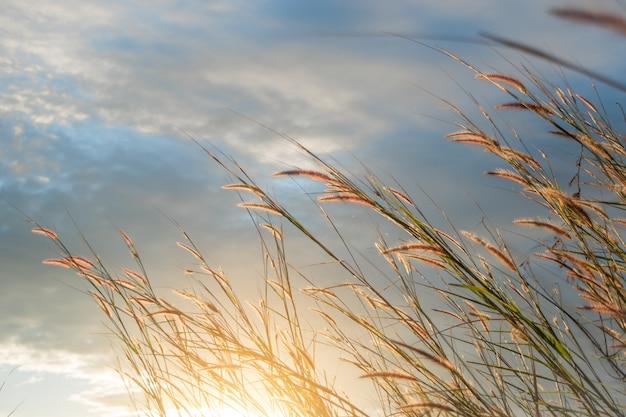 Feather pennisetum oder mission gras glühen gegen das sonnenlicht.