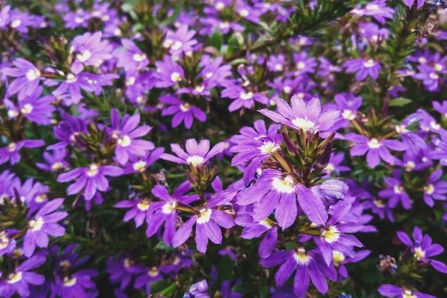 Fee fan-blume lila blumen im garten, scaevola aemula in voller blüte