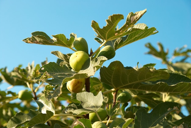 Feigenbaum mit dem blauen himmel