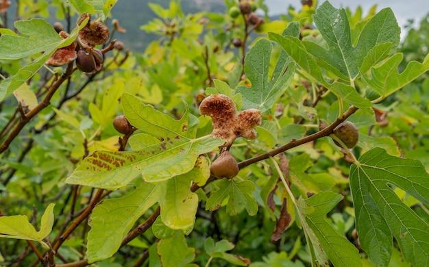 Feigenbaum mit reifen früchten sardinien, italien