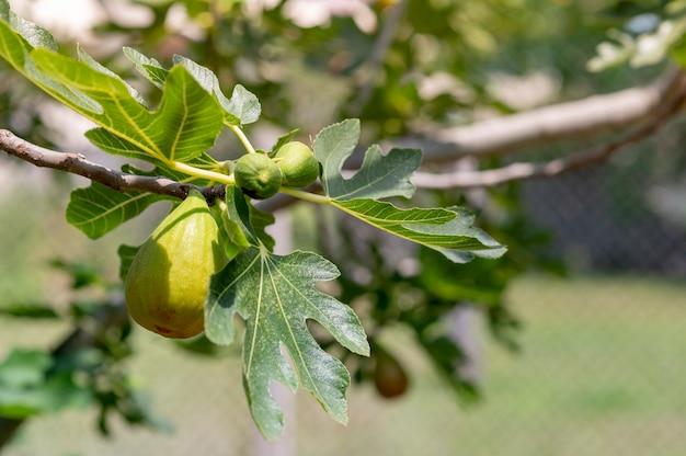 Feigenbaum. schließen sie nahe feigenfrüchte auf einem zweig in der ländlichen landschaft.