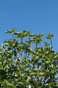 Feigenbaum und blauer himmel