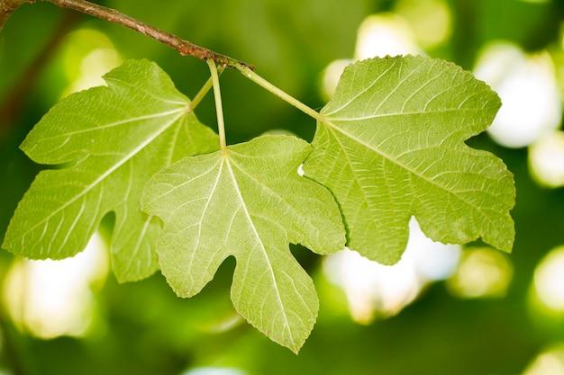 Feigenblätter in den bäumen