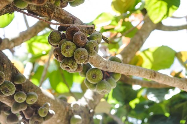Feigenfrucht auf einer baumnahaufnahme