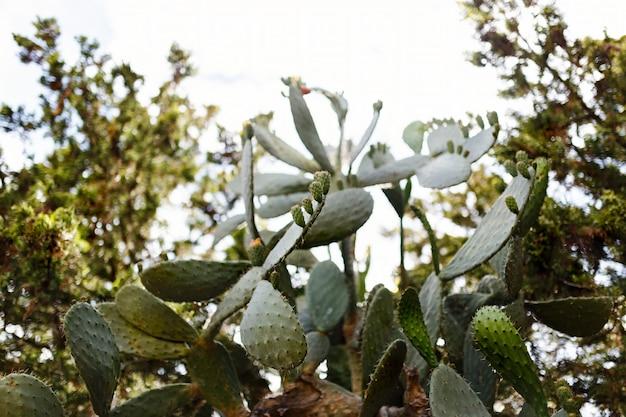 Feigenkaktus hautnah mit früchten in roter farbe, kaktusstacheln. opuntia, ficus-indica, indische feigenopuntie.