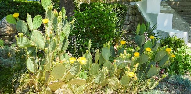 Feigenkaktus mit zahlreichen gelben blüten, wächst im park, im freien.