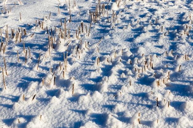 Feld, auf dem die weizenernte geerntet wurde und auf den scharfen stielen liegen die schneebälle, eiskristalle sind sichtbar, von der seite genommen