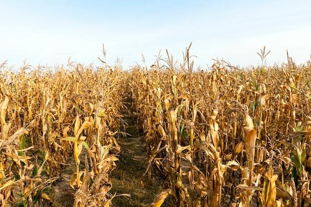 Feld, das mais angebaut und gereift hat