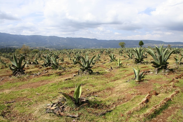 Feld der agavenplantage unter dem schönen bewölkten himmel