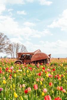 Feld der blühenden schönen bunten tulpen mit einem alten rostigen traktor in der mitte
