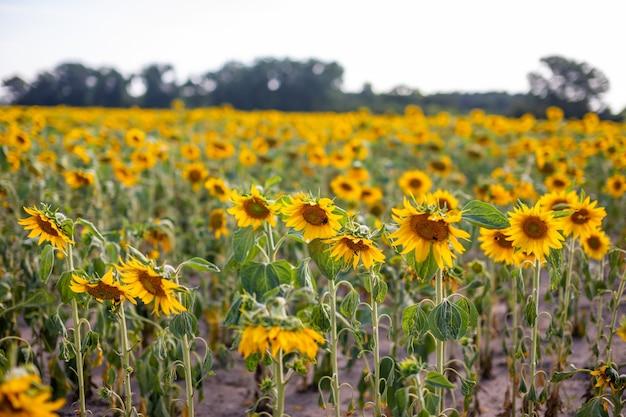 Feld der blühenden sonnenblumen im sommer in tschechien