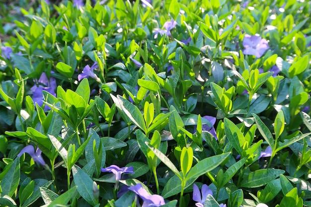 Feld der blüten immergrün blau