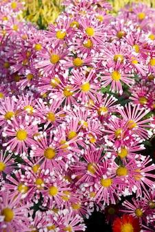 Feld der dunkelrosa chrysanthemen