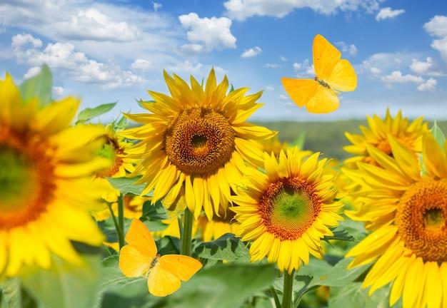 Feld der frischen sonnenblumen und schmetterlinge am hellen sommertag schließen unter blauem himmel mit wolken