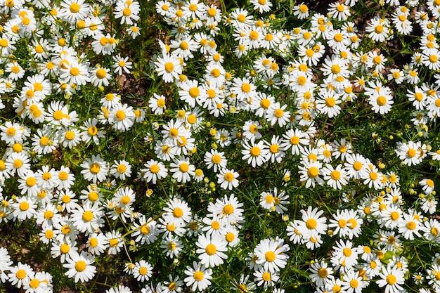 Feld der gänseblümchen