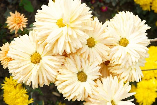 Feld der gelb-weißen chrysanthemen