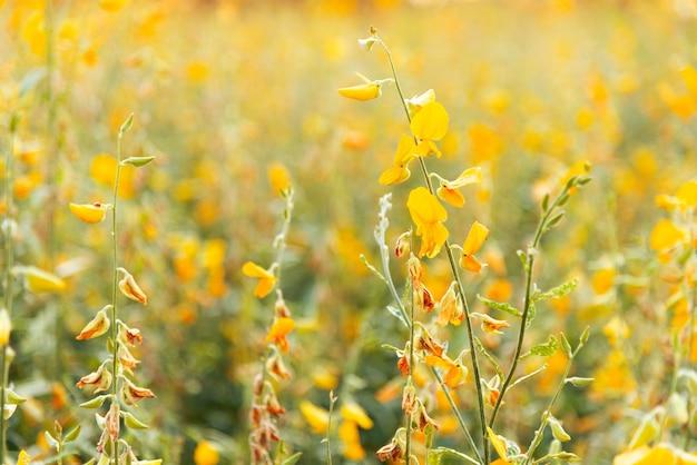 Feld der gelben blumen (sunn hanf) im sonnenlicht mit selektivem fokus