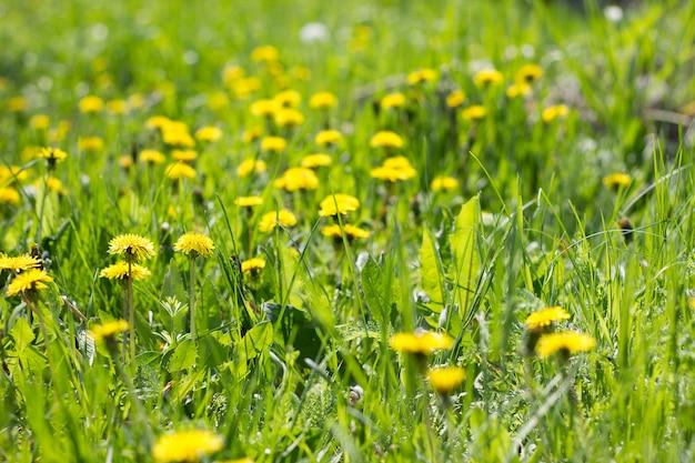 Feld der gelben löwenzahnnahaufnahme