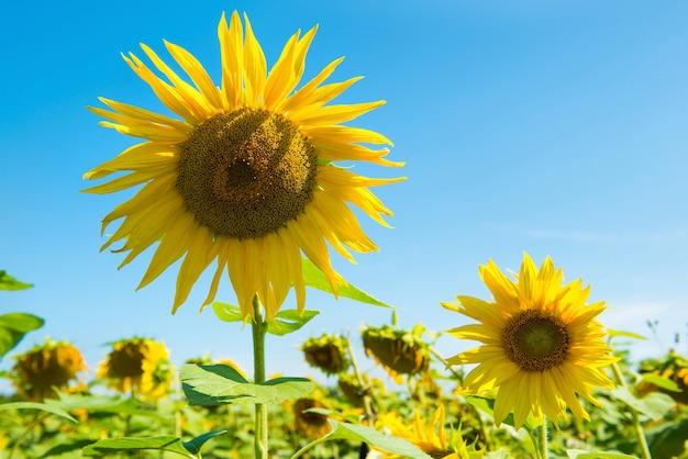 Feld der gelben sonnenblumen mit grünen blättern unter blauem sonnigem himmel