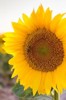 Feld der gelben sonnenblumen