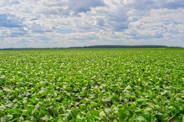 Feld der grünen sojabohne im zeitraum des blühens. rein von krankheiten und schädlingen, gesund