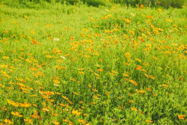 Feld der kosmosblumen