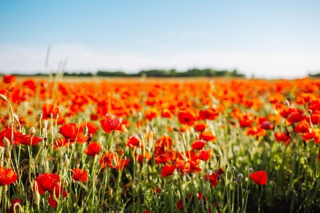 Feld der leuchtend roten maismohnblumen im sommer. selektiver fokus.