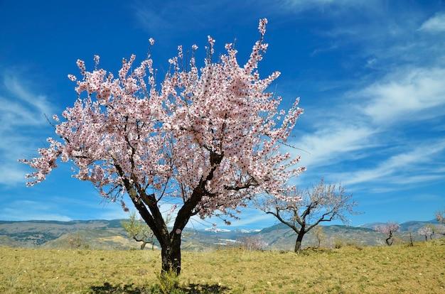 Feld der mandelblüten