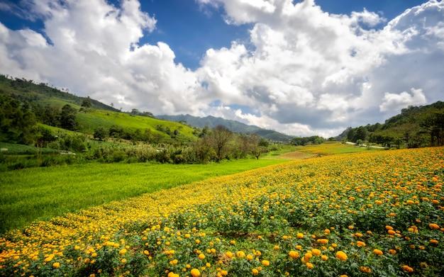 Feld der ringelblume blüht auf dem hügel und dem grünen berg.