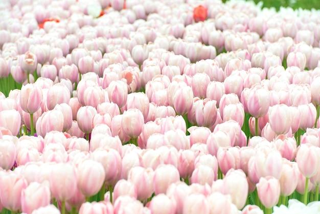 Feld der rosa blumentulpen kann für blumenhintergrund verwendet werden