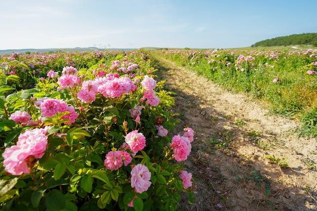 Feld der rosen