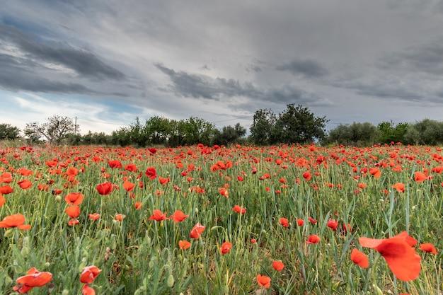 Feld der roten mohnblumen unter dem sturm