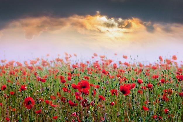 Feld der roten mohnblumen während des sonnenuntergangs. sonnenaufgang über dem mohnfeld